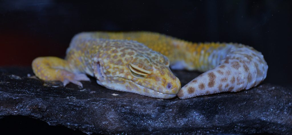 L'hivernation du gecko léopard