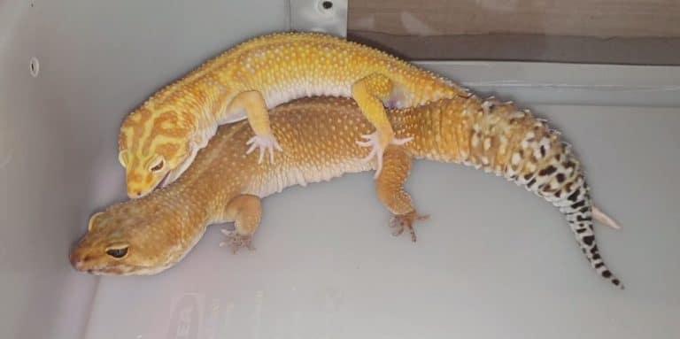 la reproduction du gecko léopard