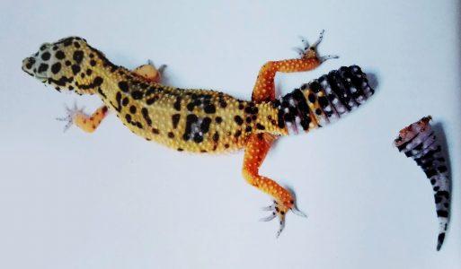 gecko-leopard-autotomie-queue